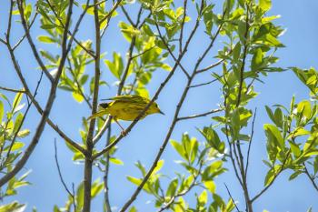 Oiseau (Paruline Jaune) 177