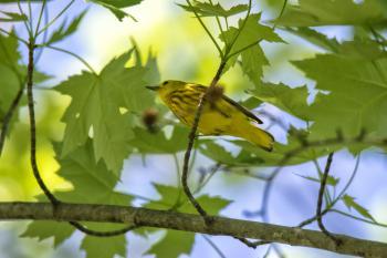 Oiseau (Paruline Jaune) 232