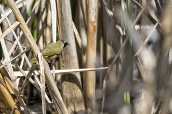 Oiseau (Paruline Masquée) 054