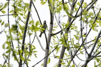 Oiseau (Paruline Noir Et Blanc) 001