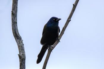 Oiseau (Quiscale Bronzé) 135