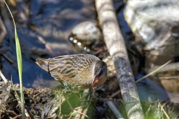 Oiseau (Râle De Virginie) 029