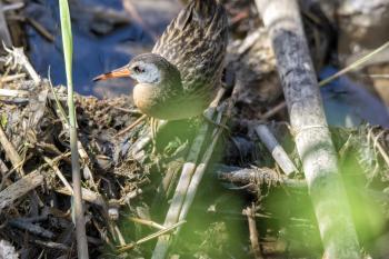 Oiseau (Râle De Virginie) 030