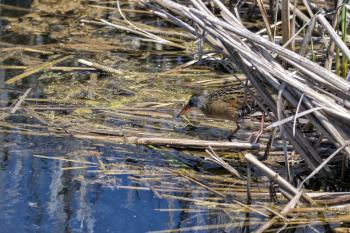 Oiseau (Râle De Virginie) 061