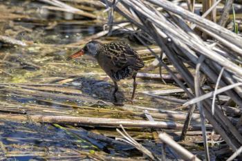 Oiseau (Râle De Virginie) 062