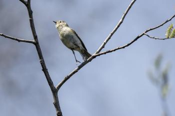 Oiseau (Roitelet À Couronne Rubis) 057