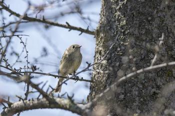 Oiseau (Roitelet À Couronne Rubis) 075