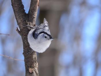 Oiseau (Sittelle À Poitrine Blanche) 110