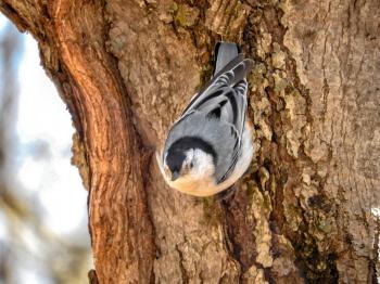 Oiseau (Sittelle À Poitrine Blanche) 126