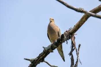 Oiseau (Tourterelle Triste) 135