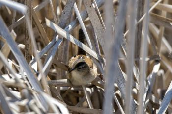 Oiseau (Troglodyte Des Marais) 278