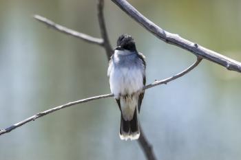 Oiseau (Tyran Tritri) 236