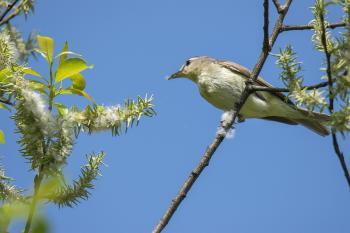 Oiseau (Viréo Mélodieux) 002