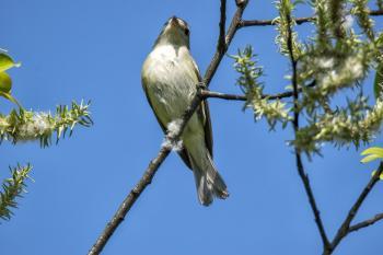Oiseau (Viréo Mélodieux) 005