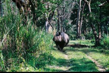 One-horned Ferocious Rhino Jaldapara National Park