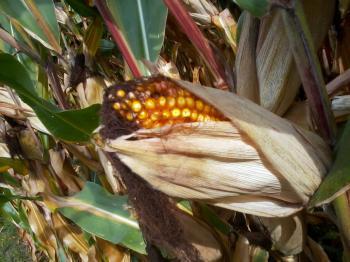 Open corncob