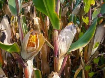 Opening corncobs