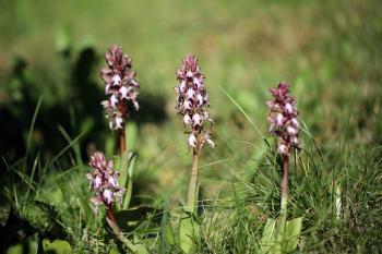 Ophrys de garrigues