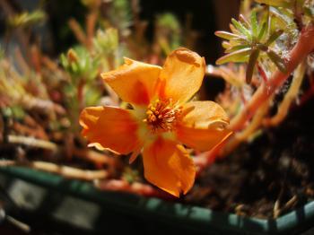 Orange garden flower