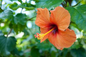 Orange hibiscus tropical flower