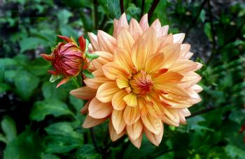 Orange Ruby. Dahlia