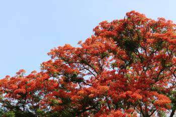Orange Tropical Blossom Tree