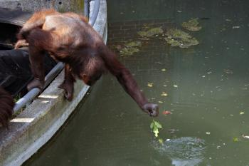 Orangutan stretching for food