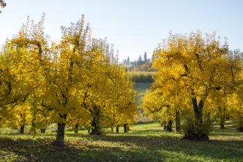 Orchard trees in autumn, Oregon