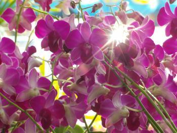 Orchid Sunburst
