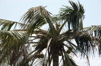 Palm tree top