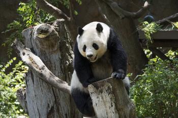 Panda on the Tree
