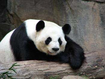 Panda resting on a log