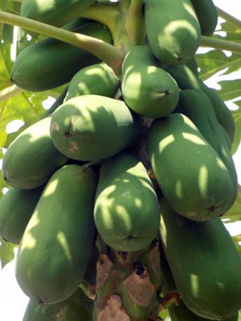 Papaya Fruit Tree