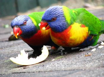 Parrots eating an apple
