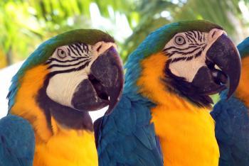 Parrots Macaws