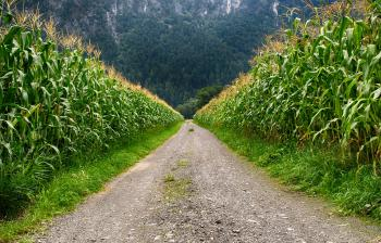 Pathway in Middle of Corn Field