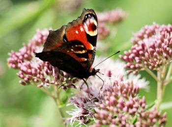 Peacock Butterfly in the Garden