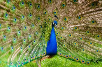 Peacock on Green Grass
