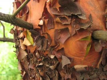 Peeling Tree Bark Texture