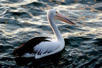 Pelican. (Pelecanus conspicillatus)