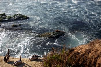 Pelican's Resting Beside Ocean