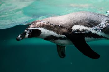 Penguin in the Ocean