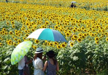 People in a Sunflower Field