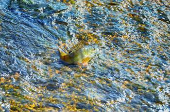 Perch in the rock creek
