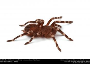 (Pet) Brazilian whiteknee tarantula (Theraphosidae, Acanthoscurria geniculata)