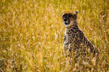 Photo Beige and Black Cheetah