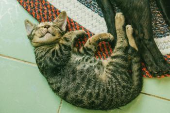 Photo of Brown Tabby Cat on White Tile Floor