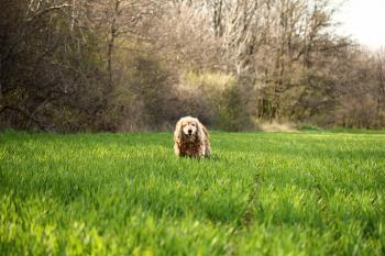 Photo of Cocker Spaniel Dog on Grass Field