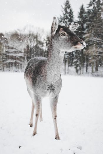 Photo of Deer in the Snow