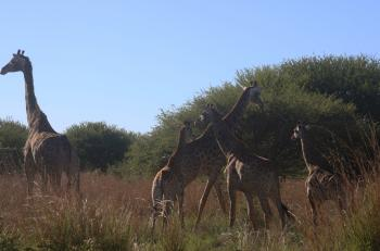 Photo of Giraffes in the Field